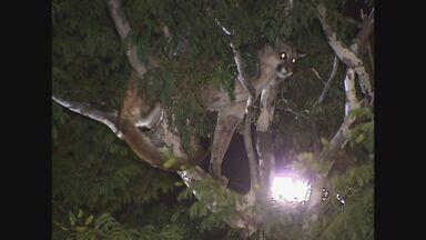 Onça em árvore causa confusão no Centro de Bauru, SP - Após passar por exames, o animal será solto em uma reserva ambiental.