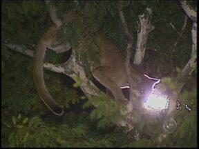 Onça parda aparece em árvore de parque na região central de Bauru - Uma onça parda apareceu em cima de uma árvore no final da tarde desta quinta-feira (13), no Parque Vitória Régia, em Bauru (SP). Somente às 20h é que a onça foi resgatada e levada pela Polícia Ambiental.