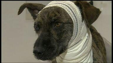 Cachorro é socorrido ao entrar num consultório dentário - Os veterinários acreditam que o corte foi causado por um fio amarrado no pescoço do animal. Além do ferimento profundo, o cão também estava com infecção no sangue, desnutrido, desidratado e com pulgas e carrapatos.