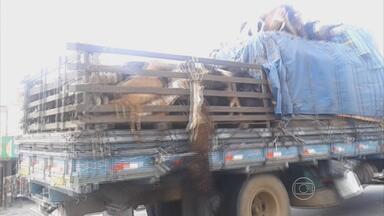 Ovelhas e bodes são transportados irregularmente na BR-232 - Flagrante mostra os animais amontoados em caminhão, no Sertão.