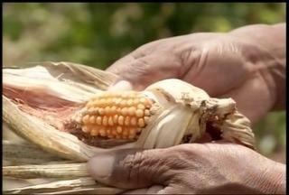 90% da do milho plantado em Capitão Enéas não vingou - Problema na plantação deve-se a má distribuição de chuvas em Capitão Enéas.