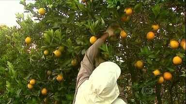 Decisão da Justiça pode mudar sistema de contratação para a colheita da laranja - Uma ação do Ministério Público do Trabalho de Araraquara (SP), quer que as indústrias de suco paguem indenização aos trabalhadores. Com a decisão, as indústrias também devem ser responsáveis pela contratação dos empregados.