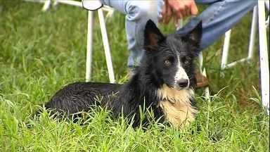 Campeonato testa habilidade de cães no trabalho de pastoreio em Pirajuí (SP) - A habilidade de cães da raça border collie foi testada durante as provas. Criadores de várias partes do país participaram da disputa.