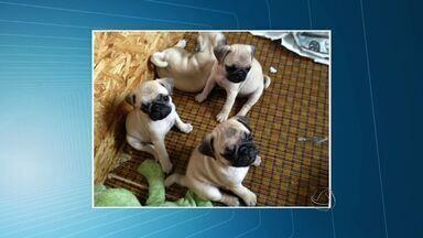 Vacina pode prevenir parvovirose em cães - Vacinas podem prevenir a parvovirose em cães.
