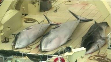 Tribunal Internacional de Justiça pede que Japão suspensa caça à baleia - O Tribunal concluiu que o país está promovendo a caça comercial, e não com fins científicos, como seria permitido.