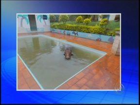 'Foi um susto', diz internauta que flagrou boi dentro de piscina em Jaú - Por duas vezes, moradores do bairro Santa Helena acordaram assustados após uma vaca e um bezerro caírem no telhado das casas, que ficam em um nível mais baixo que um pasto da região.