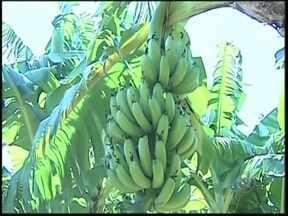 Integrantes de um assentamento de Araçatuba produzem bananas para garantir renda - Integrantes de um assentamento de Araçatuba (SP) encontraram na produção de banana uma forma de garantir a renda. Boa parte do que eles colhem é comprado pelo município, por meio um programa.
