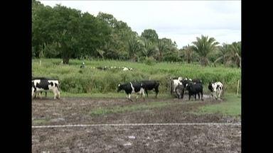 Alguns criadores do Piauí não vacinam o gado contra a febre aftosa - São Francisco de Assis, foi a cidade Cearense que menos vacinou. Alguns criadores deixam de vacinar o rebanho alegando que o animal está fraco por causa da seca.