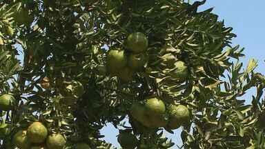 Falta de chuvas leva consumidores a pagar mais caro pela tangerina - Apesar do início da safra, a estiagem e uma praga que atacou os pomares provocaram queda na produção da fruta na região.