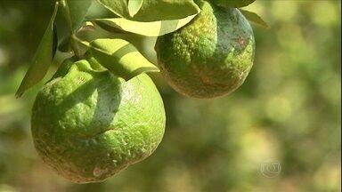 Começa a colheita da tangerina em SP - A estiagem e o amarelão, uma doença também chamado de Greening, afetaram a produção. Como houve redução na oferta, os agricultores estão recebendo mais pela fruta.