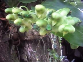 Agricultores da Bahia registram enxames de abelhas verdes - As abelhas da tribo Euglossini, popularmente conhecidas como abelhas das orquídea, porque elas polinizam cerca de duas mil espécies dessa planta.