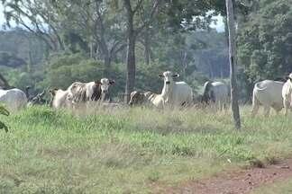 Globo Rural visita propriedade no MT onde vivia animal com mal da vaca louca - Ministério da Agricultura ainda aguarda a contraprova dos exames da vaca doente.Deu negativo o exame dos demais animais sacrificados, que viviam com ela.