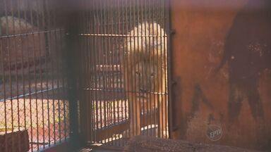 Leão desaparecido é encontrado em em Maringá, PR - Um leão desaparecido em Monte Azul Paulista (SP), região de Ribeirão Preto (SP), foi encontrado neste sábado (3). O animal havia desaparecido na quinta-feira (1), a polícia cumpriu hoje o mandato de busca e apreensão na casa do ex-dono do felino.