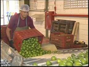 Mesmo com estiagem, produção de limão tahiti cresce em Itajobi - Produtores de limão tahiti de Itajobi, cidade que mais produz a fruta em todo o país, comemoram a estiagem fora de época no início do ano que o significou queda expressiva na produtividade e, mesmo assim, os preços subiram.
