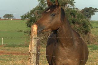 Veterinário explica porque os cavalos roem os mourões do curral - Problema não é nutricional, mas sim de falta de atividades para os equinos.