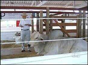 Leilão de elite marca abertura da pecuária de Araguaína - Leilão de elite marca abertura da pecuária de Araguaína