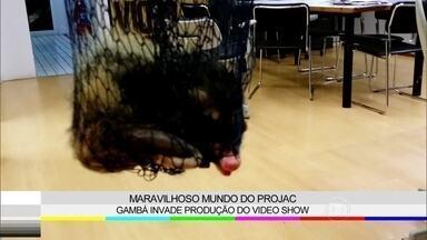 Visita surpresa! Gambá aparece na produção do Vídeo Show - Animal foi resgatado pelos bombeiros do Projac