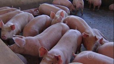 Preço do porco reage no Mato Grosso do Sul - Na região de São Gabriel do Oeste, o preço do quilo do animal vivo está saindo por R$ 3. Com a alta, muitos criadores ficaram animados para investir nas propriedades e expandir a criação.