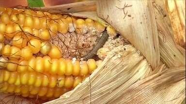 Produtores de milho estão preocupados com o ataque de lagartas - Os produtores de milho de Mato Grosso do Sul estão preocupados com os ataques de largaras nas plantações. A saída foi aumentar o número de aplicações de defensivos para garantir a safra.