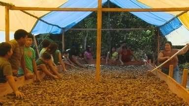 Em Roraima, comunidade indígena lucra com cultivo de castanha do Brasil - Óleo da castanha é utilizado para a indústria de cosméticos.