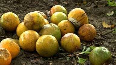 Prática da catação ajuda a combater mosca das frutas - Praga é uma das principais que ataca árvores frutíferas.