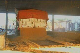 Armazéns de Rio Verde começam a receber o milho safrinha - A estimativa é de que quatro milhões de sacas a mais que o estoque do ano passado.