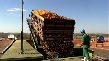 Cultivo de laranja provoca prejuízo aos produtores de pomares de SP - Oito mil pequenos e médios produtores cultivam a fruta em São Paulo. Com o prejuízo, muitos agricultores pensam em abandonar a atividade.