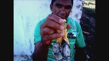 Doença ataca milho em propriedade na Paraíba - A doença chamada de carvão-do-milho forma uma massa preta que toma todo o interior dos grãos. São esporos ou sementinhas de um fungo. A maioria das variedades de milho cultivadas é resistente a essa doença.