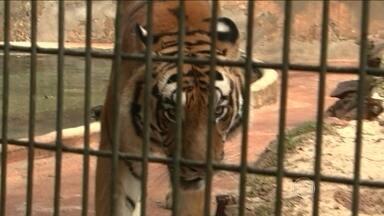 Menino atacado por tigre deve receber alta nesta terça-feira (5) - O menino, de 11 anos, teve o braço dilacerado no ataque de um tigre no zoológico de Cascavel, no Paraná. Testemunhas e funcionários vão prestar depoimento.