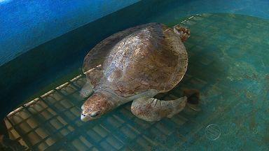 Tartarugas recebem tratamento de reabilitação em Aracaju - Tartarugas recebem tratamento de reabilitação em Aracaju.
