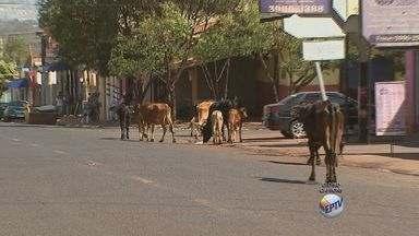 Motoristas dividem trânsito com animais na zona norte de Ribeirão - Seis vacas e quatro bezerros estavam soltos e passeavam pela avenida Antônia Mugnatto Marincek.