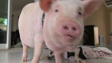 Porco é criado como pet e conquista seguidores em rede social - Conheça Dylan, o porco da família de Agda Oliveira.