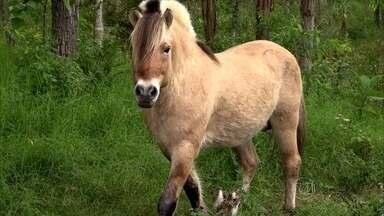 Raça de cavalo norueguesa conquista brasileiros na Mata Atlântica - Fjords são considerados símbolo na Noruega. No Brasil, só podem ser encontrados no ES. Norueguês apaixonado pela Pedra Azul trouxe os cavalos.