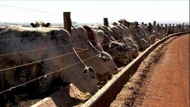 Donos de hotel para bois aproveitam bom momento para investir no negócio - Os chamados boitéis estão operando com capacidade máxima. Em Goiás, o confinamento de gado teve um crescimento de 25%.