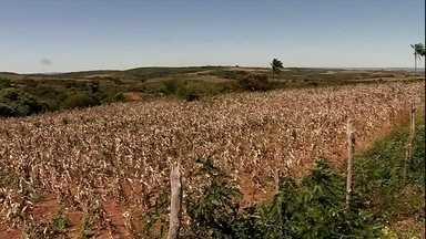 Colheita da fava está a todo o vapor no cariri cearense - Diferente do ano passado, quando a safra foi muito prejudicada pela estiagem, este ano choveu bem e a produção está animando os agricultores.