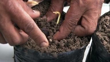 Agrônomo da Embrapa ensina a fazer o plantio do cupuaçu - José Bossini, de Icaraíma, no PR, diz que tem o fruto, mas não sabe se dá para usar a semente.