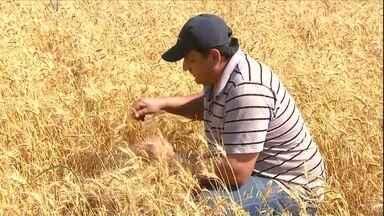 Agricultores do Paraná aumentam a área de trigo - A safra bateu todos os recordes, mas o aumento da oferta fez cair o preço.