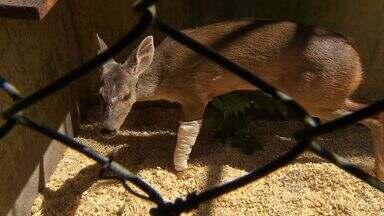 Aumenta número de animais atropelados atendidos no CRAS - Somente nos últimos dois meses foram atendidos pelo menos dois animais atropelados por semana no CRAS, em Campo Grande. Entre os motivos estão as queimadas e a época de reprodução de várias espécies.