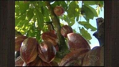 Produtores de Cacau esperam dobrar a produção em cinco anos, no ES - A produção da fruta ganhou força após as plantas ficarem mais resistentes à 'vassoura de bruxa'.