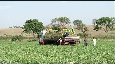 Começa a colheita da melancia em Goiás - A fruta está bonita e com qualidade, mas os preços andam baixos demais pro gosto do agricultor.