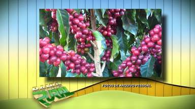 Cafés-cerejas da região da Chapada Diamantina, na BA, são premiados - Os cinco melhores frutos descascados e despolpados do Brasil são da cidade de Piatã.