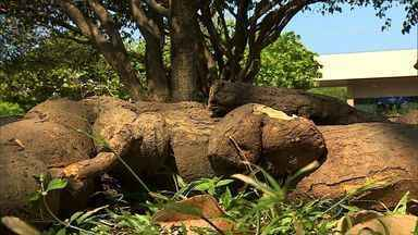Telespectador envia foto de pé de mandioca com mais de 3m - Telespectador envia foto de pé de mandioca com mais de 3m.