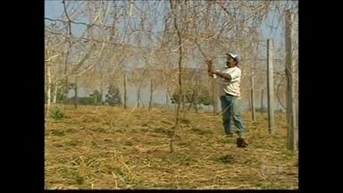Estiagem provoca danos a agricultores de Minas Gerais - Os efeitos da seca chegou ao estado de Minas Gerais. Uma safra de maracujá foi perdida por conta da estiagem. Uma plantação de abacaxi também não vingou. Segundo engenheiro agrônomo, será necessário longo período de chuva para melhorar a situação.