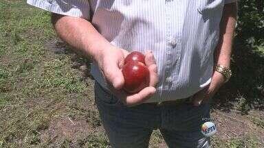 Estiagem atrasa colheita da ameixa em Virgínia, MG - Estiagem atrasa colheita da ameixa em Virgínia, MG