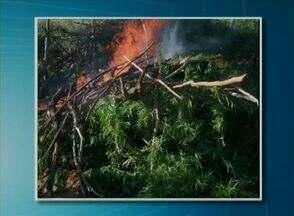 Polícia erradica cerca de 2.500 pés de maconha em Carnaubeira da Penha - Plantio da droga foi encontrado em uma localidade no Sítio Barra do Silva.