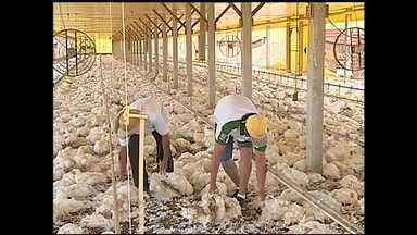 Falta de energia mata cerca de 22 mil frangos na região de Itapetininga - Aproximadamente 22 mil frangos morreram neste sábado (20) e domingo (21) em duas granjas da região de Itapetininga (SP). De acordo com os avicultores, o motivo é a interrupção no fornecimento de energia elétrica.