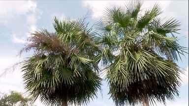 Palmeira carandá é usada para construção, artesanato e alimentação - O Brasil é um país privilegiado em espécies de palmeiras: são centenas em todas as regiões. No Pantanal matogrossense, da palmeira Carandá, o tronco é usado como madeira, a palha pra artesanato e o palmito pra alimentação.