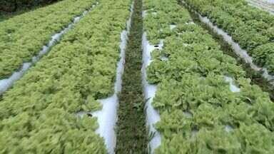 Pés de alface recebem menos veneno em plantações de Marechal Floriano, ES - Plantação virou centro de referência do Incaper.