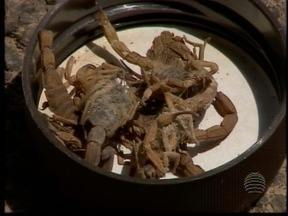 Terreno em bairro de Dracena acumula animais peçonhentos - Escorpiões aparecem constantemente no local.