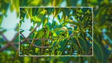 Maritacas visitam e embelezam jardim Ouro Branco em Paranavaí - Momento de carinho entre as aves foi registrado.